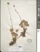 view Parnassia fimbriata K.D. Koenig digital asset number 1