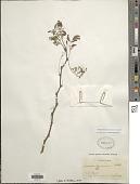 view Vachellia farnesiana var. farnesiana digital asset number 1