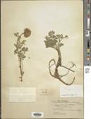 view Trifolium macrocephalum (Pursh) Poir. digital asset number 1
