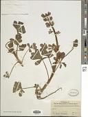 view Lupinus hirsutissimus Benth. digital asset number 1