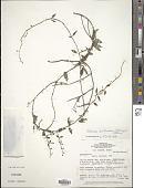 view Tassadia berteriana (Spreng.) W.D. Stevens digital asset number 1