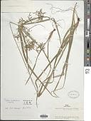 view Cyperus andreanus Maury digital asset number 1