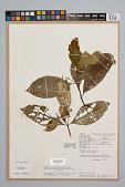 view Palicourea dichotoma (Rudge) Delprete & J.H. Kirkbr. digital asset number 1