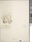 view Carex microglochin Wahlenb. digital asset number 1