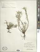 view Townsendia grandiflora Nutt. digital asset number 1