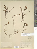 view Harrimanella stelleriana (Pall.) Coville digital asset number 1