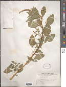 view Amaranthus tamariscinus Nutt. digital asset number 1