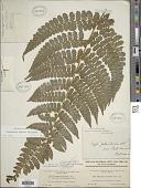 view Dennstaedtia dissecta (Sw.) T. Moore digital asset number 1