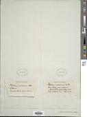 view Pilularia americana A. Braun digital asset number 1