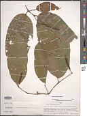 view Piper laevigatum Kunth digital asset number 1