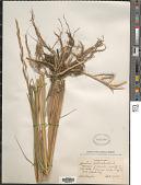 view Sporobolus michauxianus (Hitchc.) P.M. Peterson & Saarela digital asset number 1