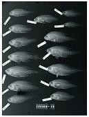 view Calloplesiops niveus Fowler & Bean digital asset number 1