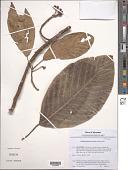 view Poikilospermum suaveolens (Blume) Merr. digital asset number 1