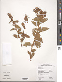 view Melochia spicata (L.) Fryxell digital asset number 1