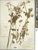 view Ageratina pazcuarensis (Kunth) R.M. King & H. Rob. digital asset number 1