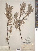 view Salix wolfii var. idahoensis C.R. Ball digital asset number 1