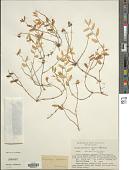 view Luzuriaga parviflora (Hook. f.) Kunth digital asset number 1