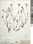 view Andryala integrifolia L. digital asset number 1