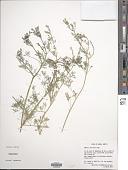view Fumaria parviflora Lam. digital asset number 1