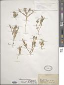 view Mesembryanthemum nodiflorum L. digital asset number 1