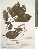 view Acalypha stachyura Pax digital asset number 1