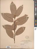 view Notholithocarpus densiflorus (Hook. & Arn.) P. S. Manos et al. var. densiflorus digital asset number 1