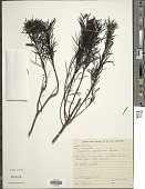 view Pseudobrickellia angustissima (Spreng. ex Baker) R.M. King & H. Rob. digital asset number 1