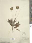 view Onoseris salicifolia Kunth digital asset number 1