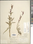view Lobelia cardinalis L. digital asset number 1