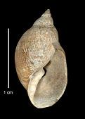 view Pseudochilina limnaeformis digital asset number 1
