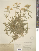 view Phlox speciosa var. lanceolata (E.E. Nelson) M.E. Peck digital asset number 1