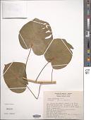 view Ficus petiolaris Kunth digital asset number 1