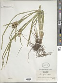 view Carex typhina Michx. digital asset number 1