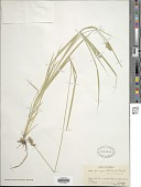 view Carex laevivaginata (Kük.) Mack. digital asset number 1