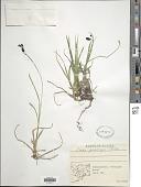 view Carex podocarpa R. Br. digital asset number 1