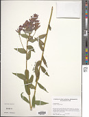 view Castilleja rhexiifolia Rydb. digital asset number 1