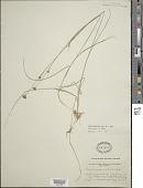view Rhynchospora alba (L.) Vahl digital asset number 1