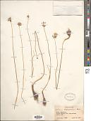 view Allium atroviolaceum Boiss. digital asset number 1