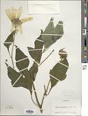 view Tithonia diversifolia (Hemsl.) A. Gray digital asset number 1