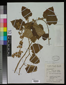 view Rubus moluccanus L. digital asset number 1