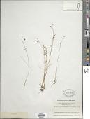 view Rhynchospora rariflora (Michx.) Elliott digital asset number 1