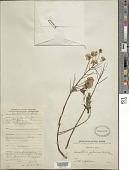 view Caesalpinia japonica digital asset number 1