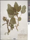 view Phytolacca dioica L. digital asset number 1