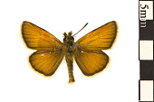 view European Skipper digital asset number 1