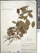 view Bredemeyera densiflora A.W. Benn. digital asset number 1