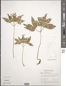 view Anemone quinquefolia L. digital asset number 1
