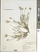 view Oxytropis campestris (L.) DC. digital asset number 1