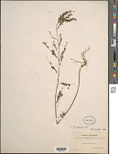 view Phyllanthus niruri L. digital asset number 1