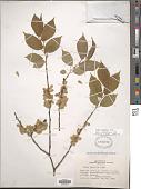 view Ulmus japonica Sarg. digital asset number 1