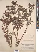 view Potentilla chinensis Ser. digital asset number 1